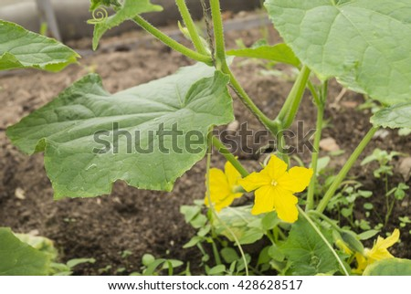 Yellow flower cucumber and green stalk grows on land