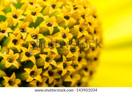 Yellow Flower Cups With Pollen Extreme Macro - stock photo