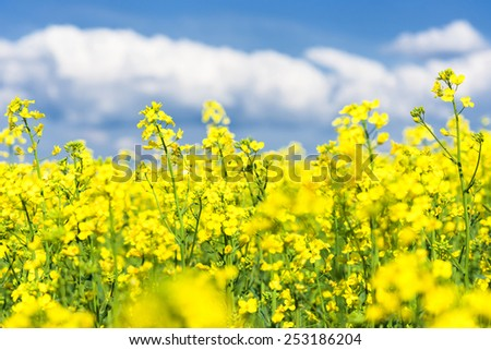 Yellow flower field and blue sky. Spring landscape - stock photo