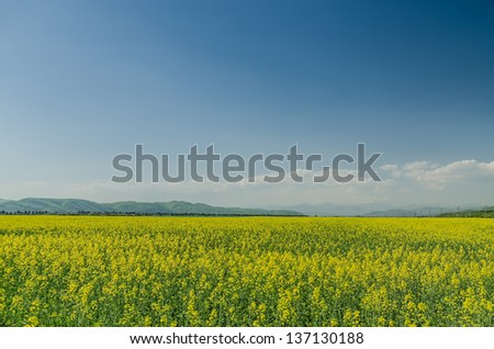 Yellow Flower Field In Spring - stock photo