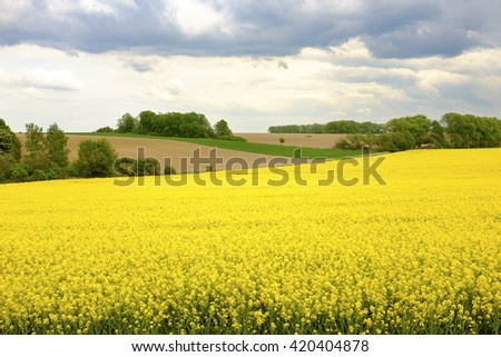 Yellow flower field in the Czech Republic