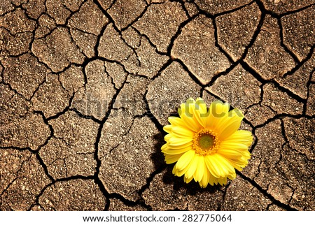 Yellow flower. Growing from the cracked soil - stock photo