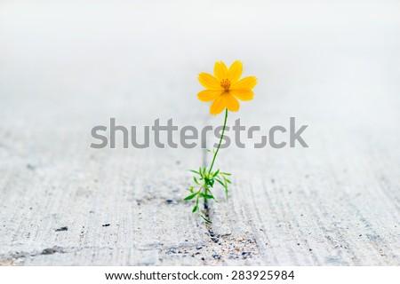yellow flower growing on crack street, soft focus - stock photo