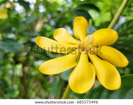 Yellow flower her name golden gardenia stock photo edit now yellow flower her name is golden gardenia she is one of ornamental plant in the mightylinksfo