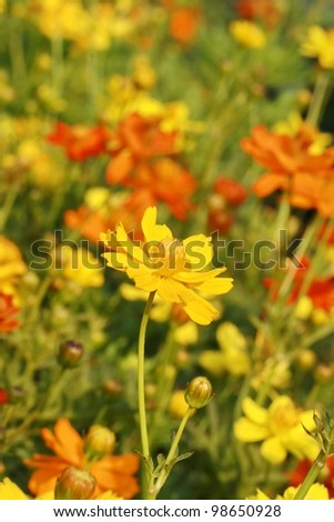 yellow flower in garden - stock photo