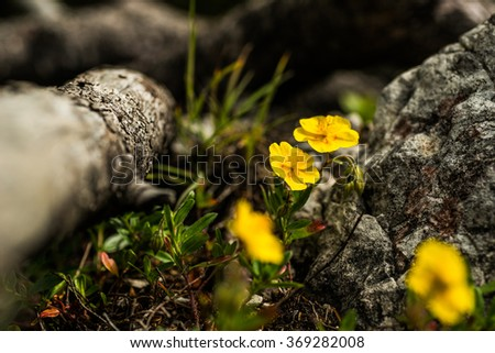 yellow flower in nature with wood, spring flowers, blooming flowers, flora - stock photo