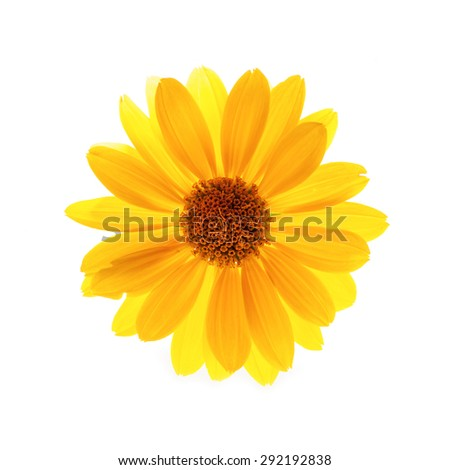 Yellow flower. Isolated on white. - stock photo
