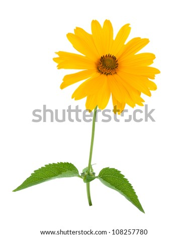 Yellow flower. Isolated on white background - stock photo