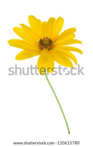 Yellow flower. Isolated on white background - stock photo