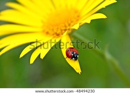 Yellow flower. ladybug - stock photo