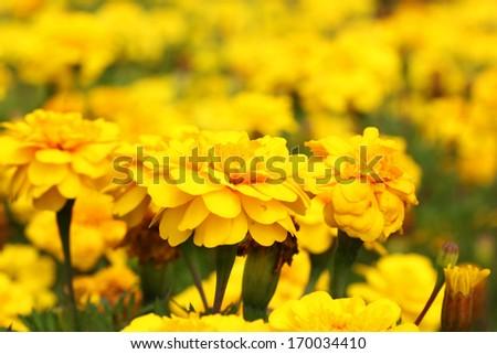 Yellow Flower, Marigold close up - stock photo