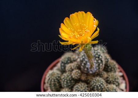 Yellow flower of Lobivia cactus blooming on the first day  - stock photo