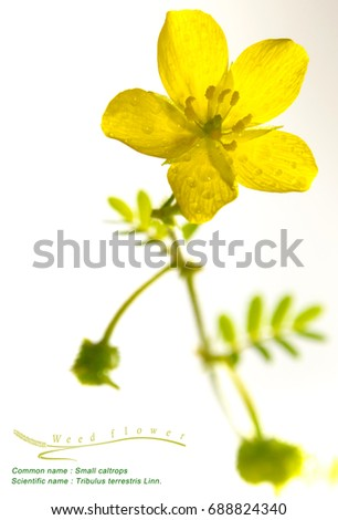 Yellow flower small caltrops weed isolated stock photo 688824340 yellow flower of small caltrops weed isolated flower on white background mightylinksfo Image collections