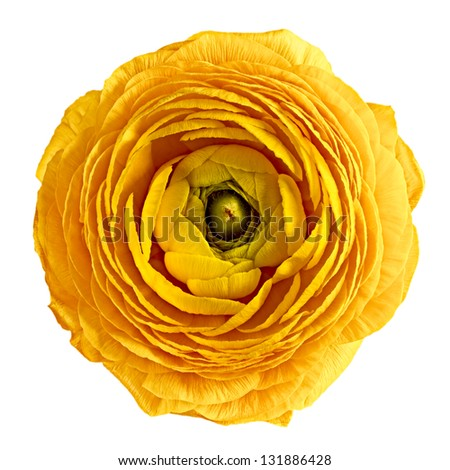 yellow flower on a white background - stock photo