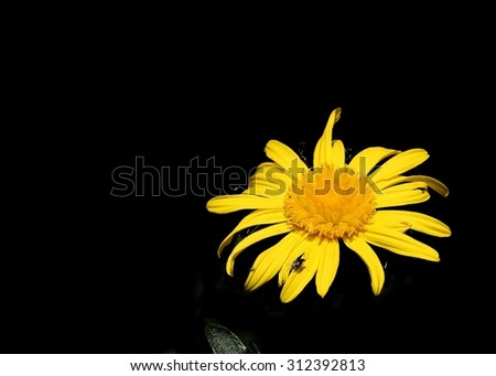 yellow flower on black background. Yellow daisy whit insect on black background.