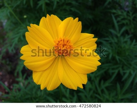 Yellow flower on green background,thailand