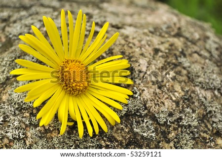 Yellow Flower on Stone