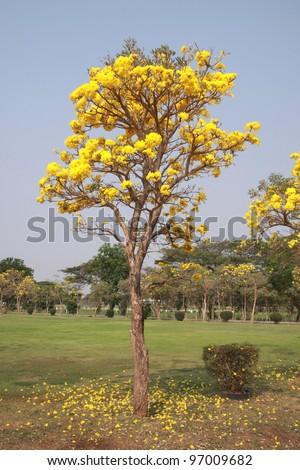 Autumn Tree Yellow Leaves Stockfoto 177514406 - Shutterstock
