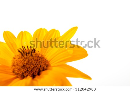 yellow flower with drops on a white background