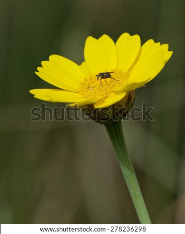 Yellow flower with mosquito in blurry beautiful grainy background, yellow flower in early spring, maltese flora, Crown Daisy - stock photo
