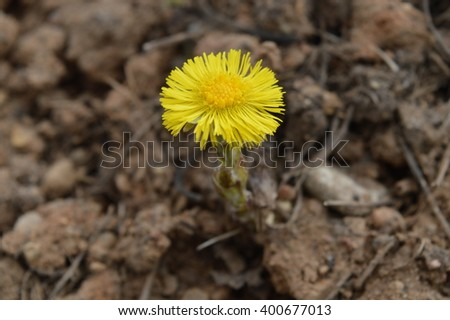 yellow flower yellow spring flower blossomed in the background of the Earth ** Note: Shallow depth of field
