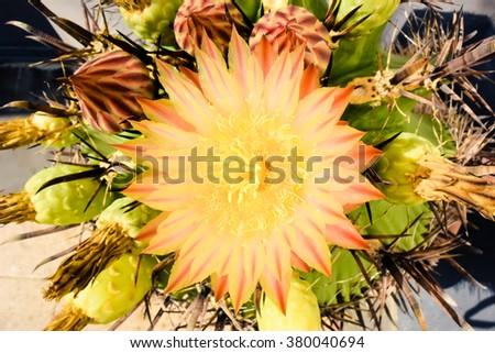 Yellow flowering  cactus - stock photo