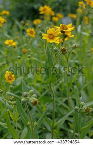 yellow flowering plant (Arnica foliosa) used in herbal medicine in the garden - stock photo