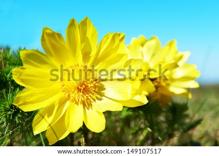Yellow flowers (Adonis vernalis) on the green field