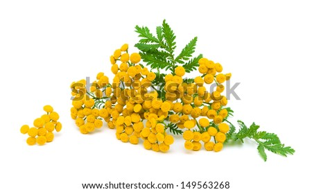 yellow flowers and green leaves of tansy isolated on a white background close-up. horizontal photo. - stock photo