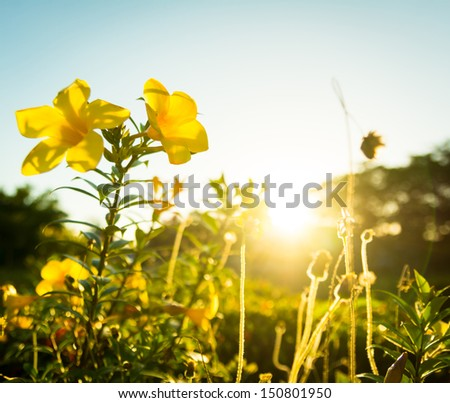 Yellow flowers and sunset - stock photo