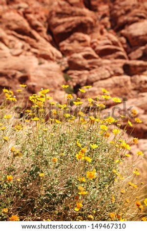 Yellow flowers at red rock canyon in Nevada - stock photo