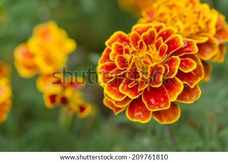 yellow flowers, blooming in the meadow. - stock photo