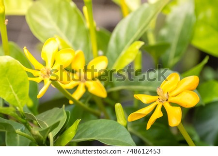 Yellow flowers blooming green leafs name stock photo 748612453 yellow flowers blooming with green leafs name it is gardenia carinata wallich fresh nature mightylinksfo Image collections