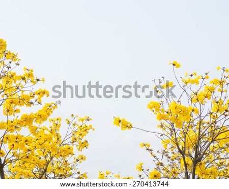 yellow flowers blossom in spring time on sky background. - stock photo