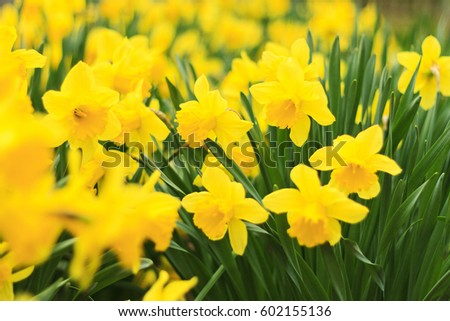 Yellow flowers daffodilsspring flowers yellow concept stock photo yellow flowers daffodilsspring flowers yellow concept plants in the garden mightylinksfo