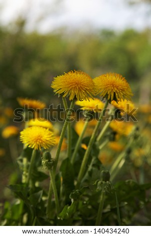 Yellow flowers. Dandelions in the field.