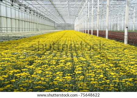 Yellow flowers in a greenhouse indoors. - stock photo