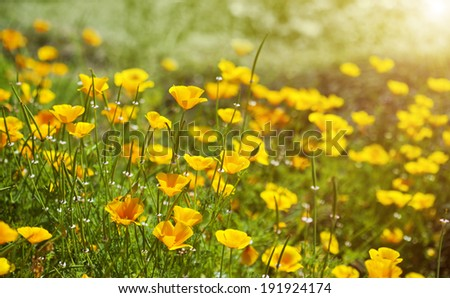 Yellow flowers in summer meadow background - stock photo