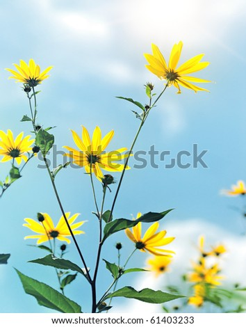 yellow flowers in sun light on sky background