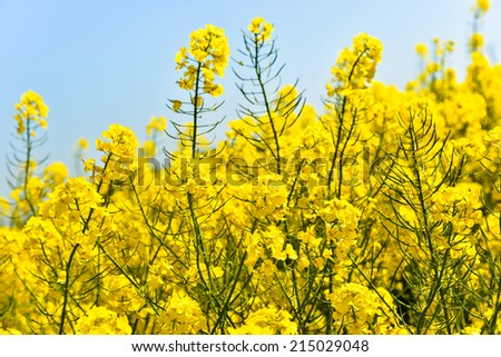 Yellow flowers in the field with light blue background - stock photo
