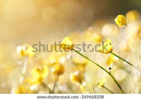Yellow flowers of a buttercup on a meadow lit with the sun. - stock photo