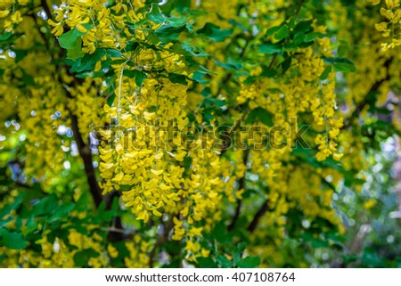 yellow flowers of a laburnum in full spring bloom