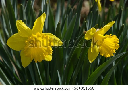 Yellow flowers daffodils garden spring stock photo royalty free yellow flowers of daffodils in garden in spring mightylinksfo