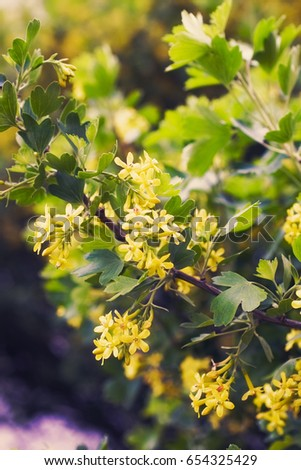 Yellow flowers golden buffalo currant ribes stock photo safe to use yellow flowers of golden buffalo currant ribes aureum background mightylinksfo