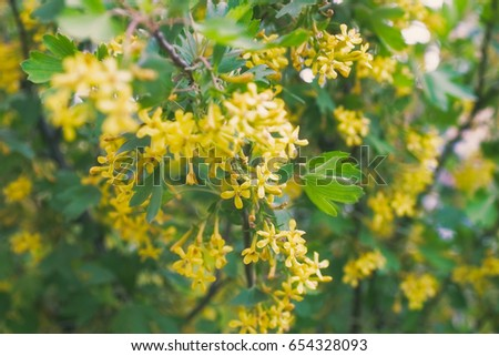 Yellow flowers golden buffalo currant ribes stock photo royalty yellow flowers of golden buffalo currant ribes aureum background mightylinksfo