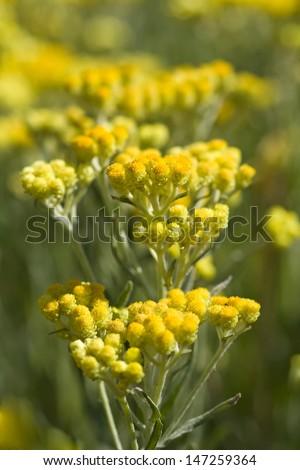 yellow flowers of Helichrysum arenarium - stock photo