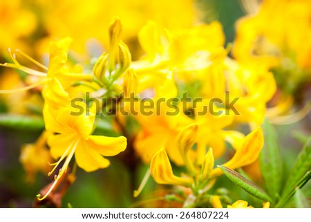 Yellow flowers of rhododendron shrub. Close up. - stock photo