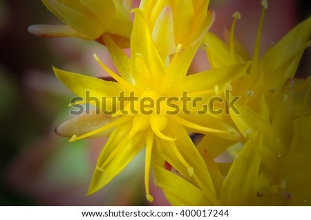 Yellow flowers of succulent plant Sempervivum on black background. Selective focus. - stock photo