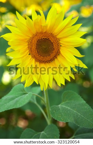 Yellow flowers of sunflower. Field of blooming sunflowers - stock photo