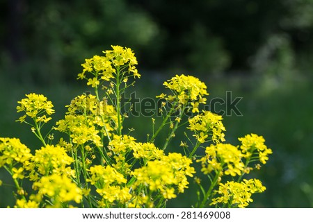 Yellow flowers of the field are growing at the forest edge. - stock photo